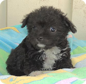 Chihuahua/Cockapoo Mix Puppy for adoption in La Habra Heights, California - Meg