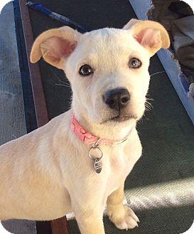 German Shepherd Dog/Labrador Retriever Mix Puppy for adoption in Santa Ana, California - Electra (JE)