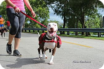Pit Bull Terrier/American Bulldog Mix Dog for adoption in Miami, Florida - Luna