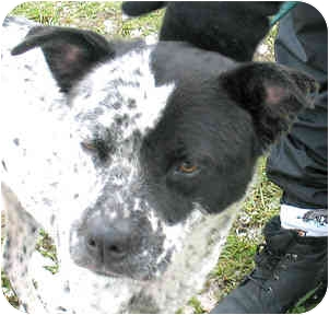 Dalmatian Mix Dog for adoption in Cincinnati, Ohio - Patches
