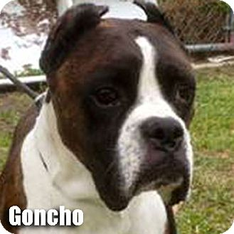 Boxer Dog for adoption in Encino, California - Goncho