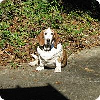 Adopt A Pet :: Gigi - Northport, AL