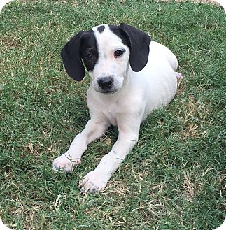 Beagle/Spaniel (Unknown Type) Mix Puppy for adoption in Fishkill, New York - GOOGLE