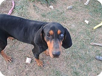 Black and Tan Coonhound Dog for adoption in Liberty Center, Ohio - Tessa