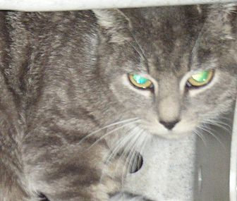Domestic Shorthair Cat for adoption in Kensington, Maryland - Barn Cats