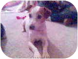 Jack Russell Terrier Dog for adoption in Phoenix, Arizona - BENNY