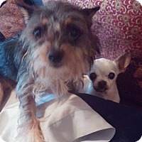 Adopt A Pet :: Honey - Brooksville, FL