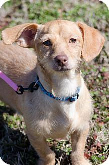 Dachshund/Chihuahua Mix Dog for adoption in Arlington, Tennessee - Axel