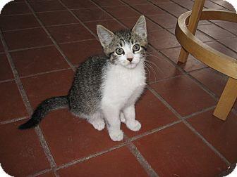 Domestic Shorthair Kitten for adoption in Fallon, Nevada - Alana