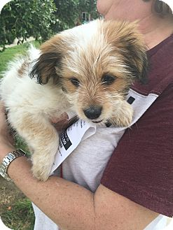 Terrier (Unknown Type, Small) Mix Puppy for adoption in New York, New York - Rapunzel