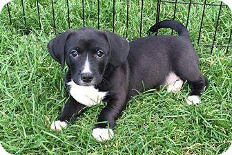 Dachshund/Beagle Mix Puppy for adoption in Elgin, Illinois - Louie