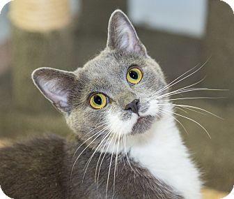 Domestic Shorthair Cat for adoption in Seville, Ohio - Elmer