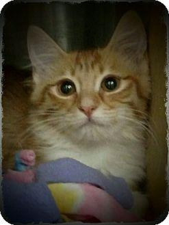 Domestic Longhair Kitten for adoption in Pueblo West, Colorado - Isabel