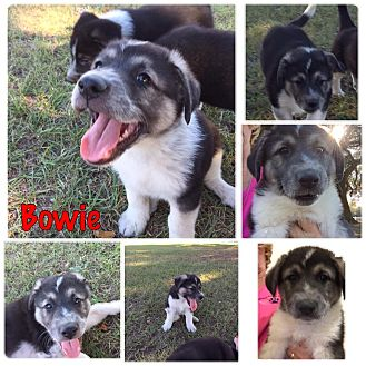 Great Pyrenees/Shepherd (Unknown Type) Mix Puppy for adoption in Folsom, Louisiana - Bowie