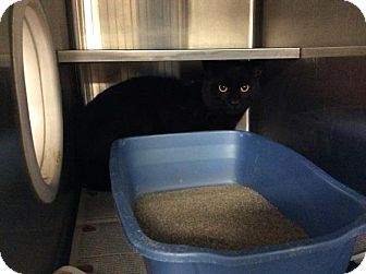Domestic Shorthair Cat for adoption in Janesville, Wisconsin - Magneto