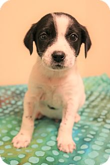 Smooth Fox Terrier/Beagle Mix Puppy for adoption in Staunton, Virginia - Davis
