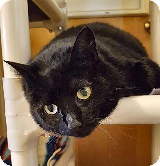 Domestic Shorthair Cat for adoption in Salisbury, Massachusetts - Witch Hazel - lap cat!