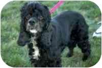 Cocker Spaniel Dog for adoption in Sacramento, California - MALLORY