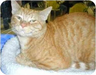 Domestic Shorthair Cat for adoption in Miami Beach, Florida - Hunter Red