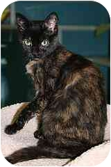 Domestic Shorthair Kitten for adoption in Marietta, Georgia - Belle