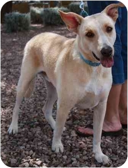 Labrador Retriever Mix Dog for adoption in Gilbert, Arizona - Butters