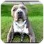 Photo 1 - American Pit Bull Terrier Dog for adoption in Montreal, Quebec - Jude