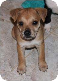 Terrier (Unknown Type, Medium)/Retriever (Unknown Type) Mix Puppy for adoption in West Palm Beach, Florida - HOLLY