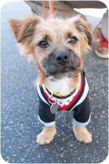 Border Terrier Mix Puppy for adoption in Santa Monica, California - Chester