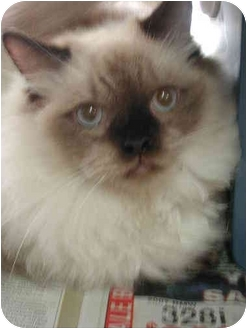 Ragdoll Cat for adoption in Fort Lauderdale, Florida - Haas