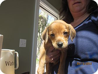 Beagle Mix Puppy for adoption in Hainesville, Illinois - Baby Peaches