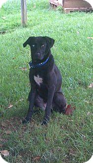 Labrador Retriever/Husky Mix Dog for adoption in Plainfield, Connecticut - Bonnie
