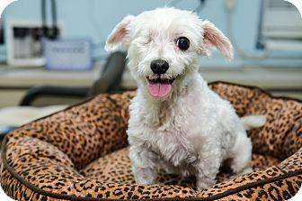 Maltese Dog for adoption in New York, New York - Sophie