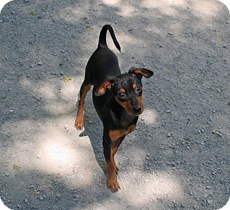 Miniature Pinscher Dog for adoption in Atchison, Kansas - Brocco