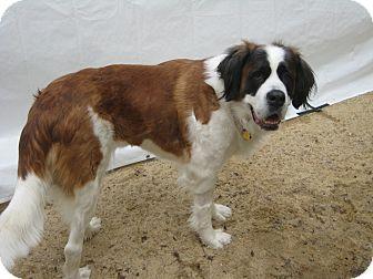 St. Bernard Dog for adoption in Sudbury, Massachusetts - HAZEL #2 - ADOPTION PENDING