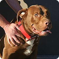 Adopt A Pet :: Deuce - white settlment, TX