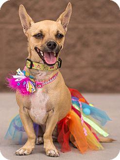 Chihuahua Mix Dog for adoption in Chandler, Arizona - Pippa