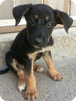 German Shepherd Dog/Shepherd (Unknown Type) Mix Puppy for adoption in Chicago, Illinois - Ava*ADOPTED!*