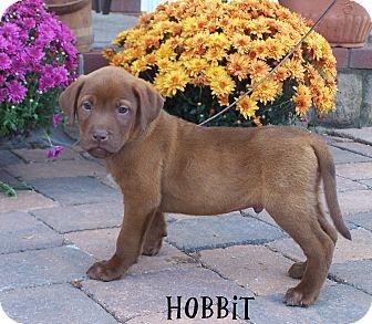 Shepherd (Unknown Type)/Labrador Retriever Mix Puppy for adoption in Milford, New Jersey - Hobbit
