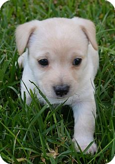 Terrier (Unknown Type, Small)/Chihuahua Mix Puppy for adoption in Rancho Cucamonga, California - Pillsbury