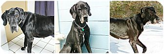 Great Dane Dog for adoption in Forked River, New Jersey - Aura