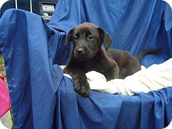 Labrador Retriever/Hound (Unknown Type) Mix Puppy for adoption in Old Bridge, New Jersey - Gus