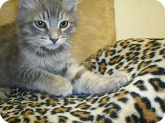 Domestic Shorthair Kitten for adoption in Tracy, California - Elliott-ADOPTED!