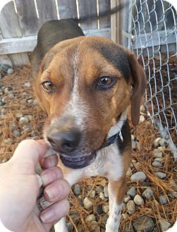 Beagle Mix Puppy for adoption in Freeport, Maine - Charlie