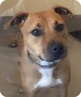 Pit Bull Terrier Mix Dog for adoption in Camano Island, Washington - Harley