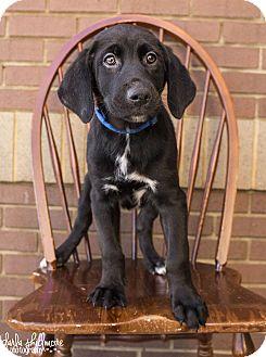 Labrador Retriever/Shepherd (Unknown Type) Mix Puppy for adoption in Charlotte, North Carolina - Newton (Panthers Litter)