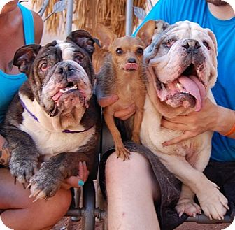 English Bulldog Mix Dog for adoption in Las Vegas, Nevada - Fiona