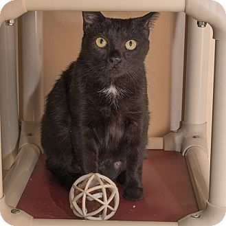 Domestic Shorthair Cat for adoption in Wheaton, Illinois - Umami