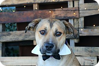German Shepherd Dog/Pit Bull Terrier Mix Dog for adoption in South El Monte, California - Champ