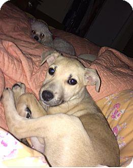 German Shepherd Dog Mix Puppy for adoption in Island Park, New York - Ella