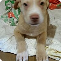 Adopt A Pet :: Gilligan - Irmo, SC